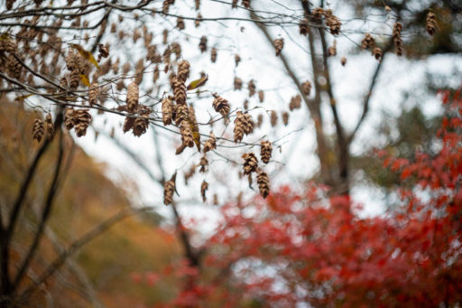 奥津渓のミノムシみたいな木